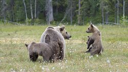 Martinselkonen: Bärenfamilie am Photo-Hide im Sumpf