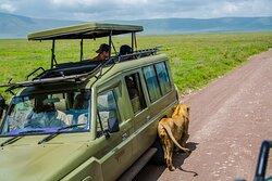 Lion loves the safari jeep