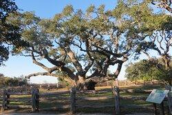 The Big Tree, Rockport, TX,  Dec 2020