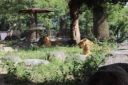 ライオンのファミリー
