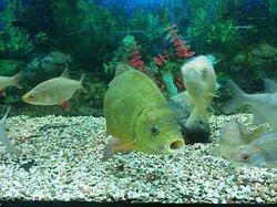 Аквариум с пресноводными рыбами