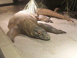 Le dragon de Komodo, la star du Tropiquarium de Servion !