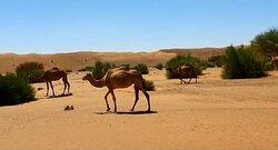 Camel in Wahiba Sands Desert