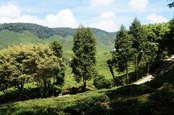 Weg durch die Teeanbauanlage