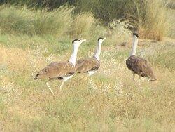 Lot of bird's from all around are often come to visit Jaisalmer. #birdwatching Desert National Park Jaisalmer