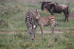 Mama with Baby Zebra and Wildebeest, the two most abundant animals in the Serengeti