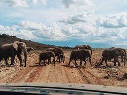 Elephants crossing the road at Amboseli