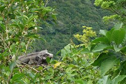 During the day iguanas will sunbathe on top of the trees witch you can see from the cottage.