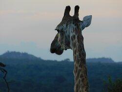 One eared giraffe on our game drive.