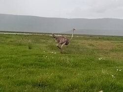 Ostrich in the crater