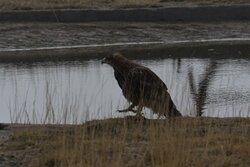 Raptor near Raptors INN
