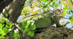 Mr Iguane sur l'ilet Chancel