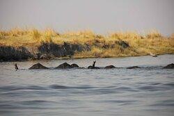 Elephants swimming across the Chobe River