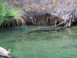 Alligator at blue springs state park
