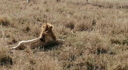that was one of my dream to visit Tanzania. And i was asking the guide to make sure i will see a lion. the Guide was answering me that ' this is nature but  hope we will see it ' the answer was shocking me but the result was behind my expectation. was safari of my life.