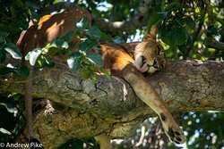 Lioness sleeping in a tree