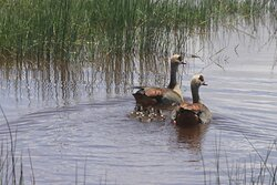 Egyptian Goose with chicks....