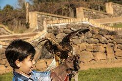 Conheça a Falcoaria: Uma verdadeira arte no céu! Veja o vôo das aves de rapina como gavião, falcão e coruja.