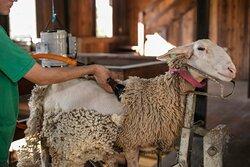 Tosquia: Entenda como e porque retirar a lã da ovelha e de onde é extraída a lanolina.