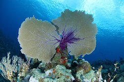 Sea Fan on of the many soft corals formations on the Acuario reef.
