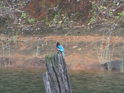 King Fisher...like the beer.