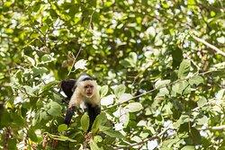 Whiteface Monkey