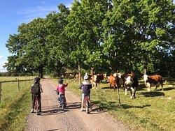 Cykelvägar och betande kor.