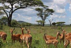 Impalas Serengeti NP