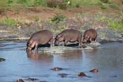 Hippo Serengeti NP