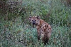 Morning Hyena Serengeti NP