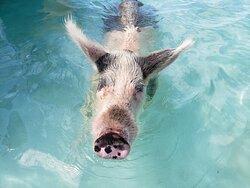 Swimming pigs!!!