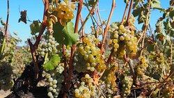 Fiano grapes ready to pick