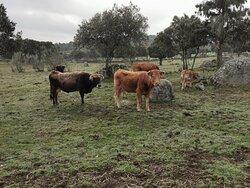 Las vacas limousin en el campo.