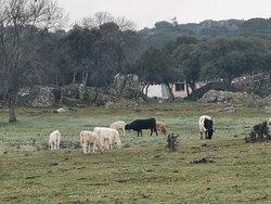 Otras razas de vacas en el campo.