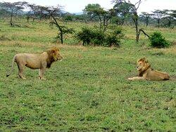 Tanzania/Serengeti (Lobo) - October 2020