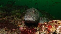 A friendly rockfish.  Kathy and Peter will help you learn to identify them in your dive photos.