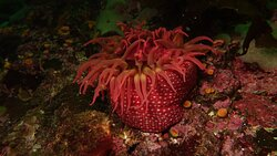 White spotted anenome.  The rocky reefs are covered in beautiful clusters and gardens of anemones.