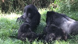 Gorilla Trek Mgahinga Gorilla National Park, Uganda.  One of the best experience to be in a family of Mountain Gorilla led by a Silverback