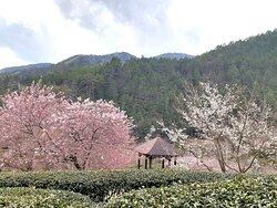 農場涼亭櫻花景