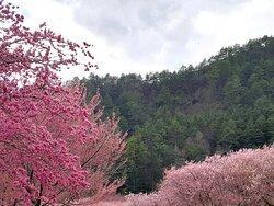 農場櫻花景