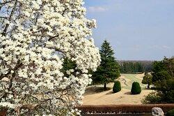 3月中旬頃には、クラブハウス前の大きな白木蓮が満開を迎えます。