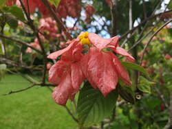 Mussaenda flower