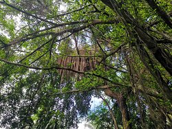 A Ficus tree covered in epiphytes