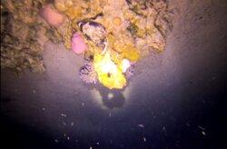 buffer fish sleeping at a night dive