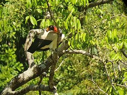The king of vultures in Costa Rica (Sacoramphus papa)
