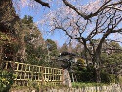 枝垂れ桜越しに民家を見ています。