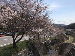 橋の上からソメイヨシノを見ました。