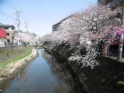 ①弘明寺商店街の桜1