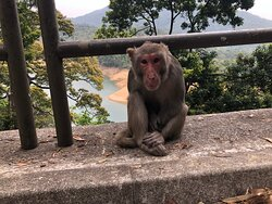 Shing Mun Country Park - resident macaques