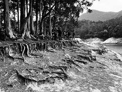 Paperbark Tree terraces at Shing Mun Country Park